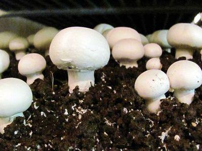 growing_mushroom_farming